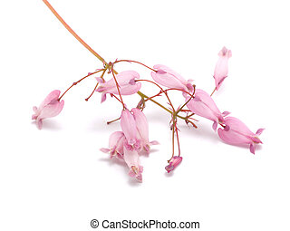 Dicentra flowers on a white background