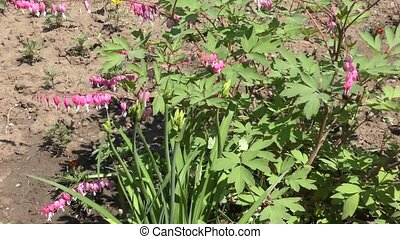 Dicentra gorgeous or flower bleeding hearts in spring...