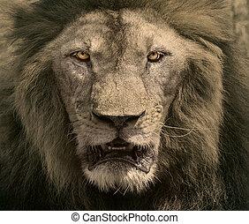 dichtbegroeid boven, gezicht, van, mannelijke leeuw,...