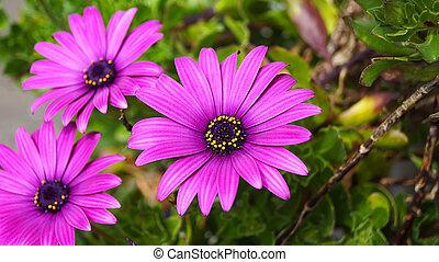 dichtbegroeid boven, mooi, osteospermum, viooltje, afrikaans madeliefje, bloem