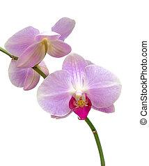 dichtbegroeid boven, tak, orchidee