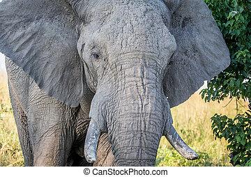 dichtbegroeid boven, van, een, oud, elefant, bull.