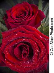dichtbegroeid boven, van, rode rozen, met, waterdruppels, romantische, concept