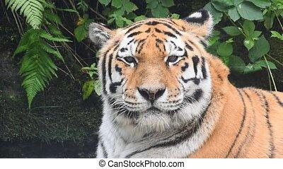 dichtbegroeid boven, verticaal, van, oud, amur, siberische tijger