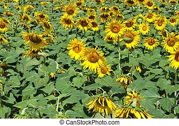 dichtbegroeid boven, zonnebloem