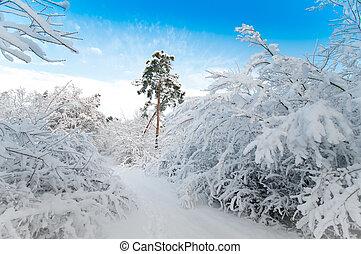 diciembre, bosque, nevoso