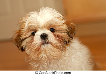 Did I Do Something Wrong? - A shih tzu puppy with a worried ...