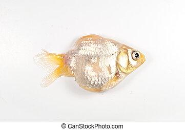 die gold fish