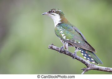 Diederick cuckoo sitting on branch with green background in the sun