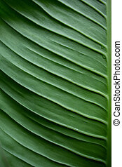 Dieffenbachia Green leaf texture abstract background