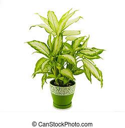 dieffenbachia grows in flowerpot isolated on white