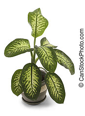 Dieffenbachia - House plant over white. Dumb Cane. Dumb ...
