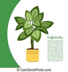 Dieffenbachia plant in pot banner - Dieffenbachia indoor...