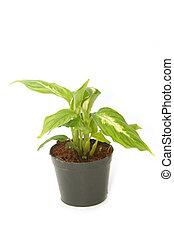 Dieffenbachia ,window plant