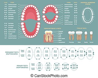diente, anatomía, chart., ortodoncista, dientes humanos, pérdida, diagrama, dental, esquema, y, ortodoncia, médico, vector, infographic
