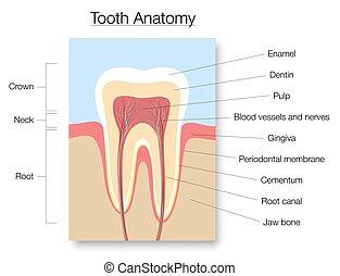 diente, sección, cruz, gráfico, anatomía, médico