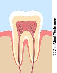 diente, sección, ilustración, cruz, anatomía, médico