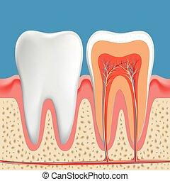 dientes, humano, cavidad, sección transversal, diente, diagram.