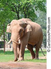 dier, elefant