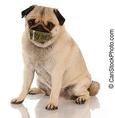 dier misbruik, of, verwaarlozing, -, pug, met, cassette, op, mond, ..., waarom, me?