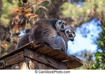 dieren, dierentuin, beugel ge-schauuuwd, lemurs, wereld, tbilisi