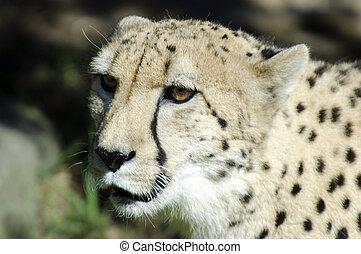 dieren, fauna, -, cheetah