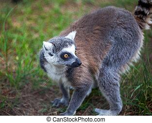 dieren, lemur, dierentuin, beugel ge-schauuuwd, wereld, tbilisi