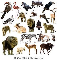 dieren, op, leeuwen, anderen, afrikaan, witte