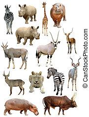 dieren, vrijstaand, verzameling, achtergrond, afrikaan, witte