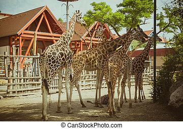 dierentuin, groep, giraffes