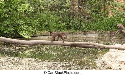 dierentuin, scène, aapjes