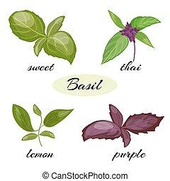 diferente, conjunto, leaves., albahaca, tipos, basil.