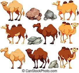 diferente, posturas, camello