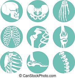 différent, anatomy., squelette, images, illustrations, orthopédique, humain, os