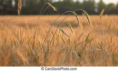 différent, blé, oreilles, brise