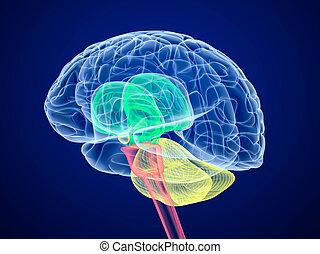 différent, cerveau, lobes, colors., vue., rayon x