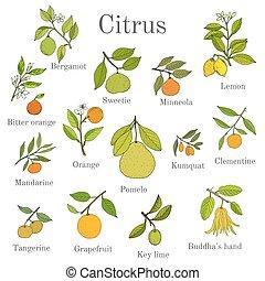 différent, ensemble, branches, citrus, feuilles, fruits