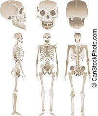 différent, ensemble, positions, humain, blanc, squelettes