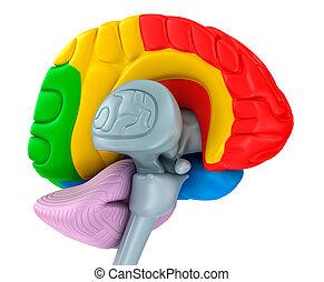 différent, isolé, cerveau, lobes, white., colors.