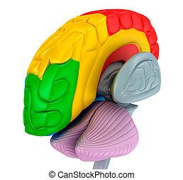différent, monde médical, isolé, illustration, cerveau, couleurs, blanc, précis, lobes, 3d