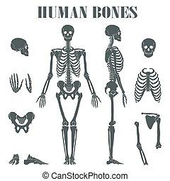 différent, parts., squelette humain