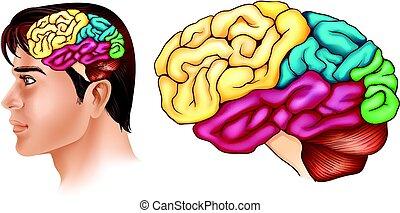 différent, projection, diagramme, cerveau, parties, humain