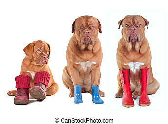 Different ages of Dogue De Bordeaux (French Mastiff) dogs with various boots (shoes, boots, wellington boots) for all seasons isolated on white background