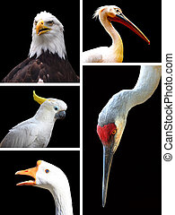 Different birds isolated on black background collage