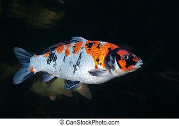 Different colorful koi fishes swimming in aquarium
