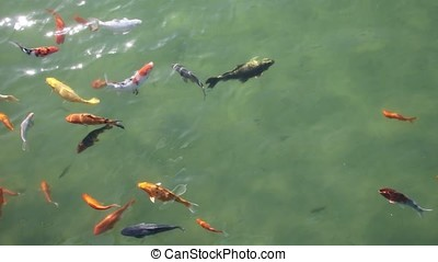 Different colors Koi fish in the pond
