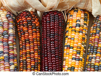 different colors of vibrant ears of Indian Corn with husks pulled back