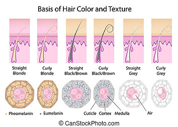 In cross section straight hair is round and curly is flatten. Black hair has mostly eumelanin, blonde has more pheomelanin. Grey hair has no pigment and has air in the medulla. Eps8