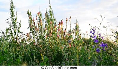 Different meadow herbs at sunset, Russia - Different meadow...