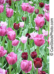 Different shades of purple tulips